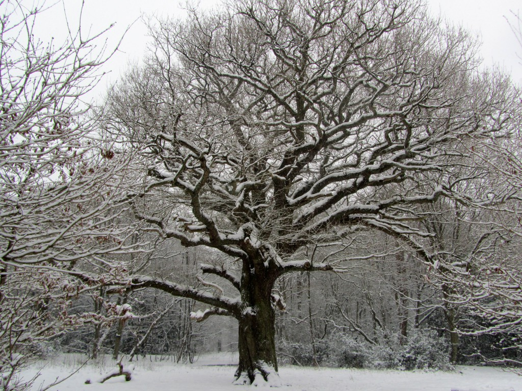 grimston's oak 2