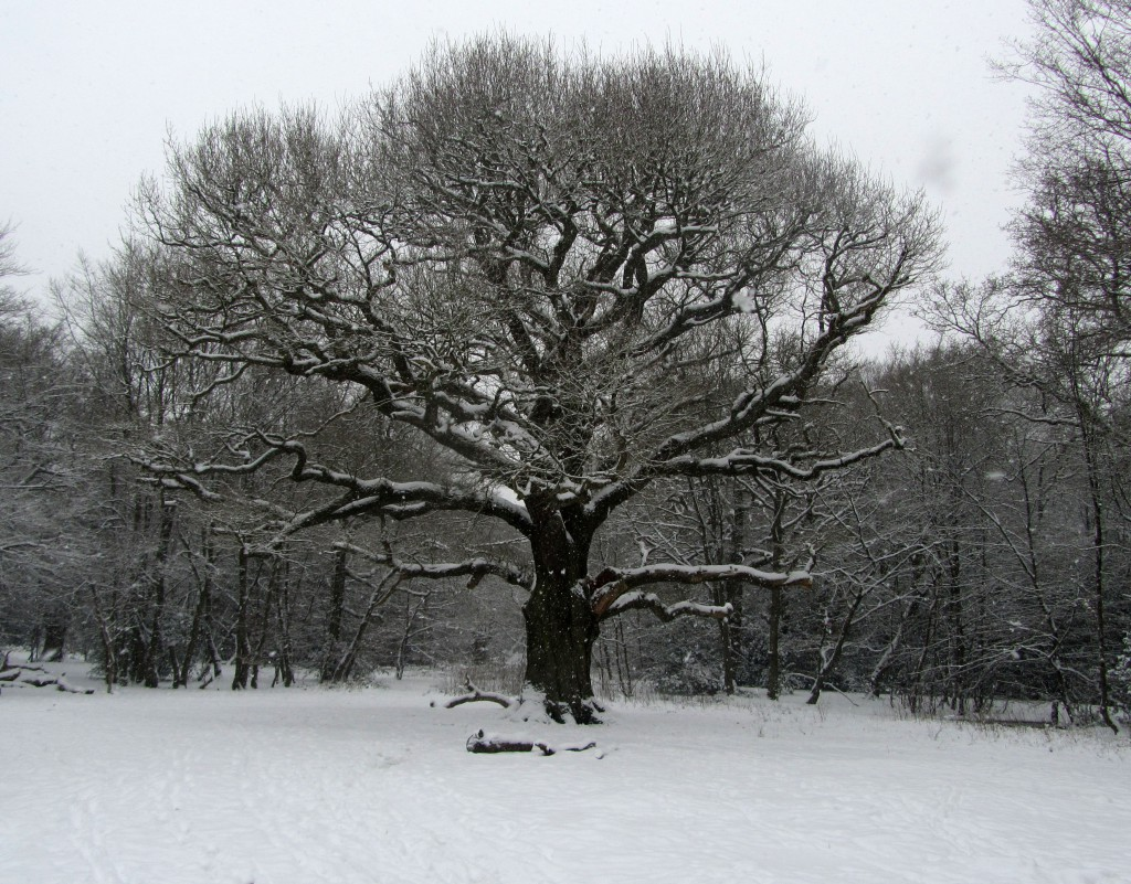 grimston's oak 3