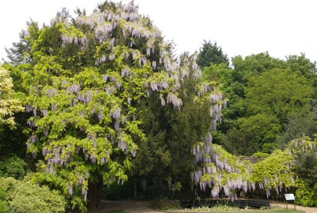 Wisteria floribunda 2