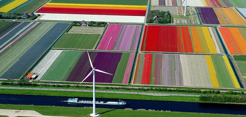 fields of tulips in Holland