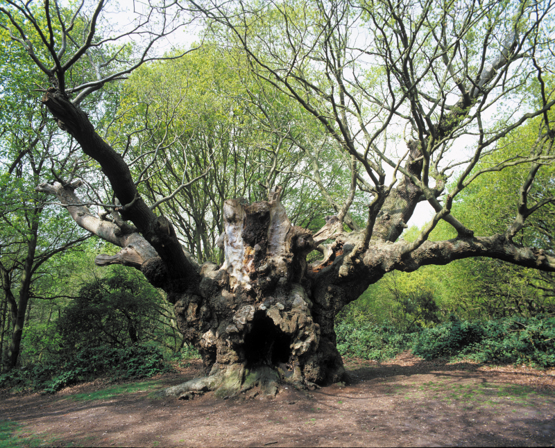 """Old Knobbley"" - an ancient Essex oak tree with his own website!"