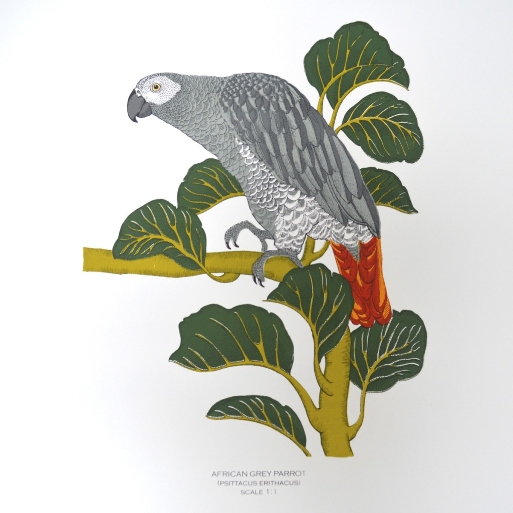 African_Grey_Fanny_Shorter_Full