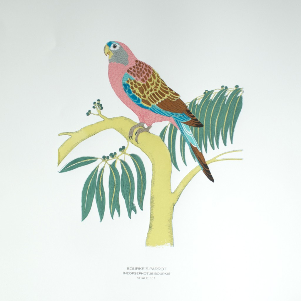 Bourkes_Parrot_Fanny_Shorter_Full