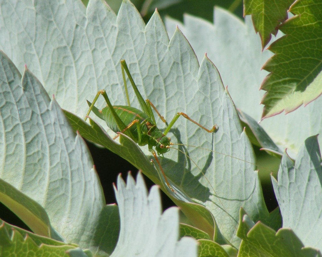 Speckled bush cricket - female