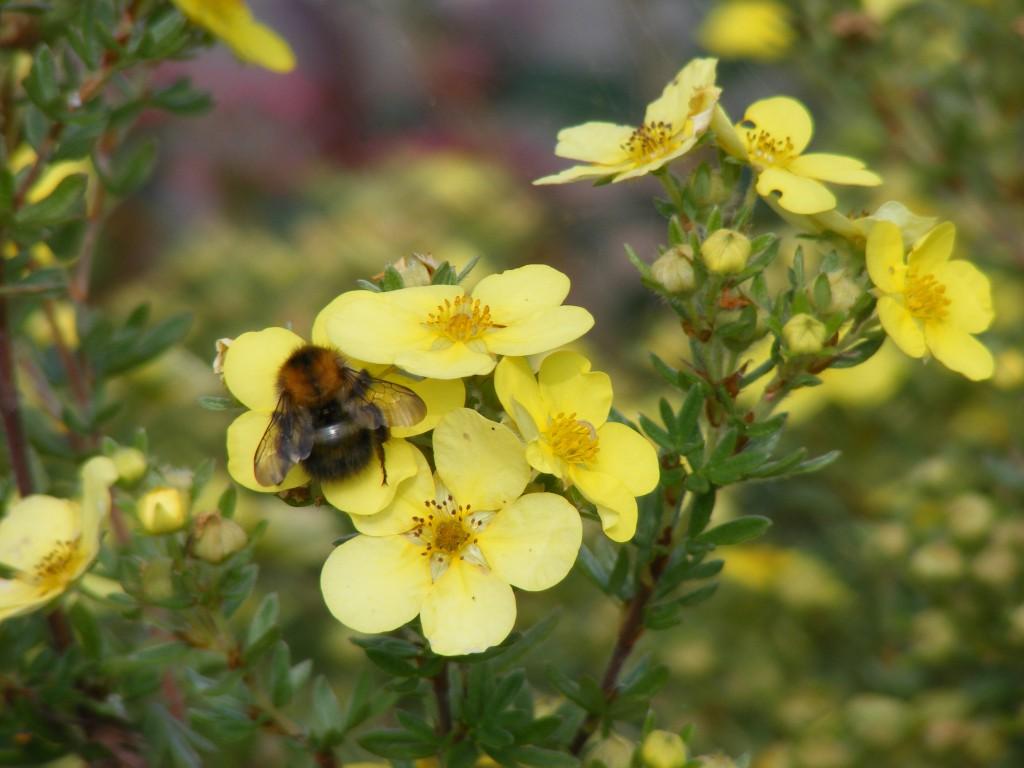 Bee on Potentilla