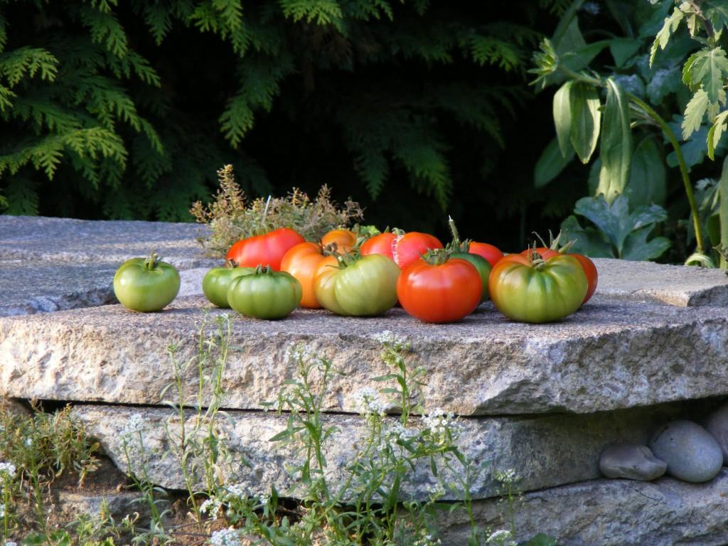 Last crop of tomatoes