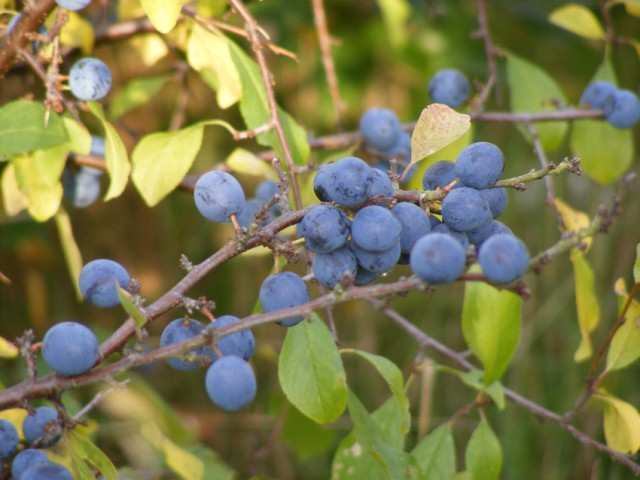 Blackthorn berries oct 2015 009