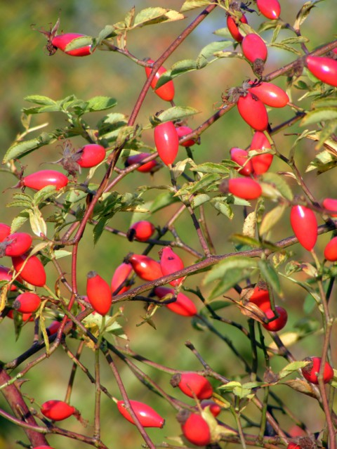 Dog rose berries oct 2015 006