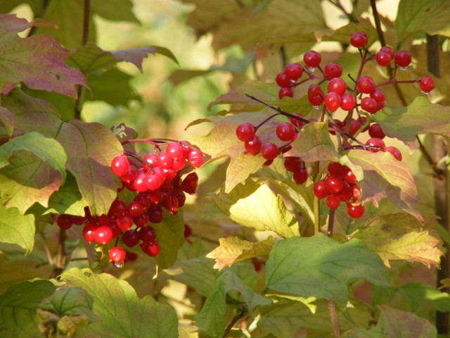 Guelder rose berries oct 2015 003