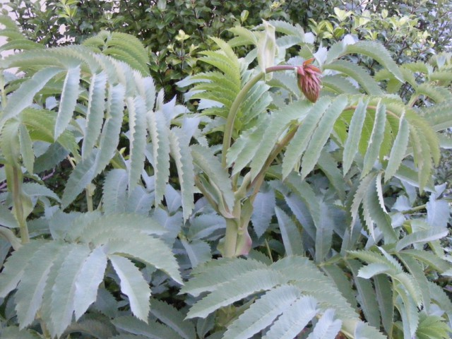 Melianthus major 2015 131