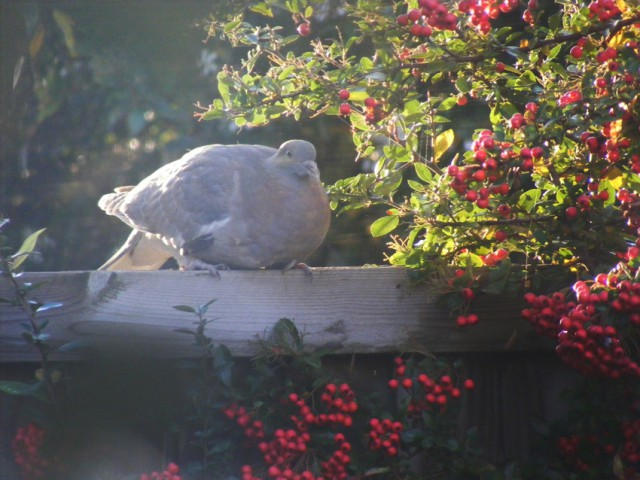 Pidge and pyracantha berries oct 2015 023a