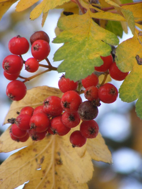 Swedish whitebeam berries oct 2015 020