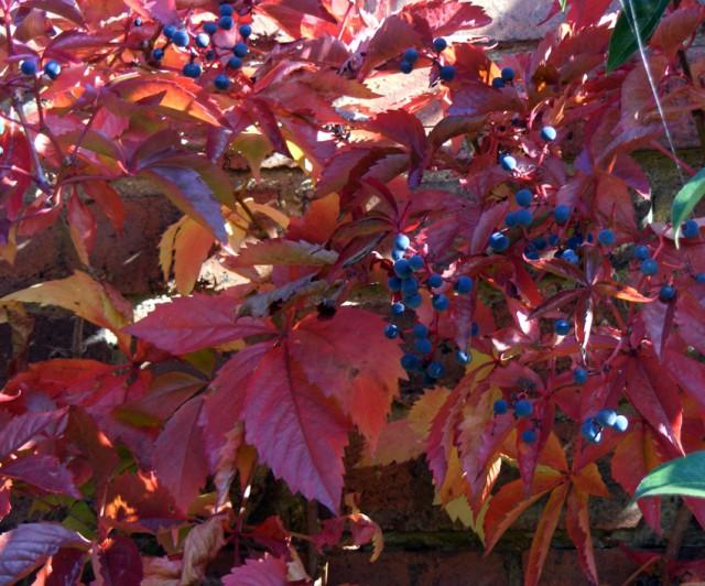 Virginia creeper berries oct 2015 009