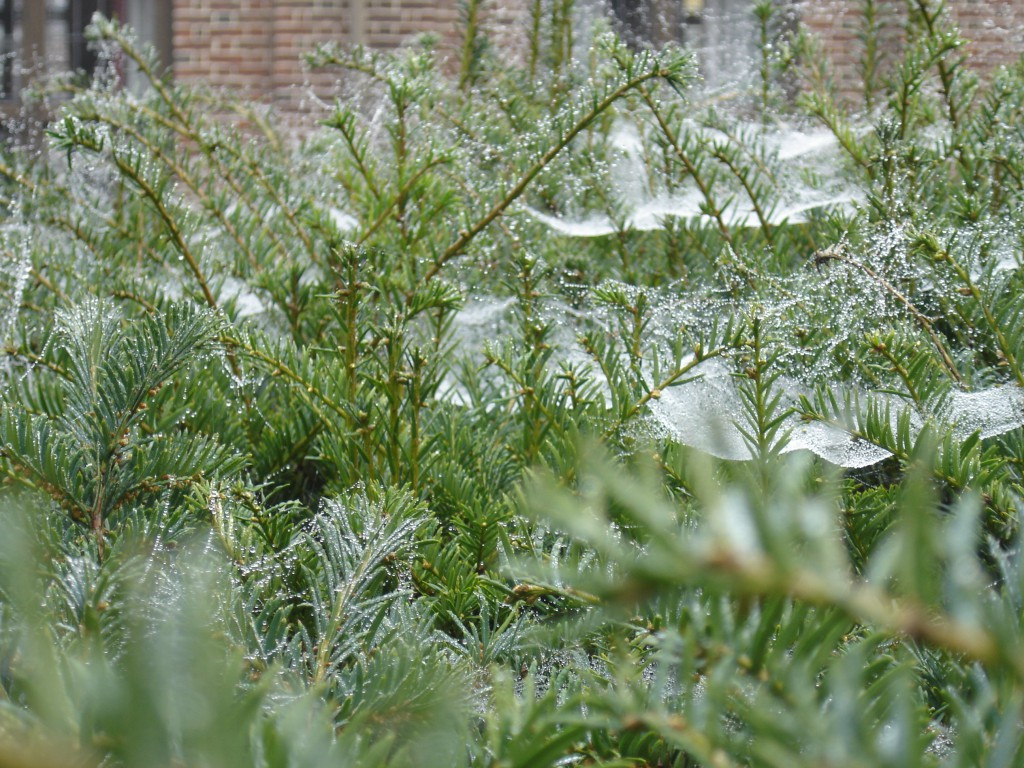 Dew laden spiders webs on yew (2)