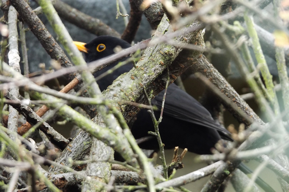 Blackbird Jan 2016