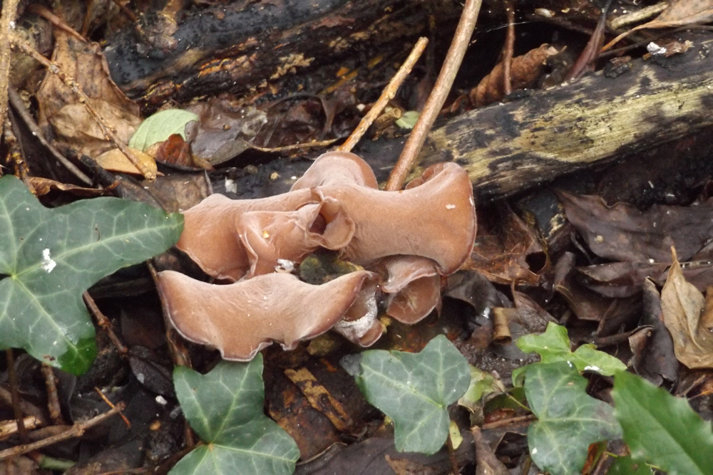 brown ear fungus