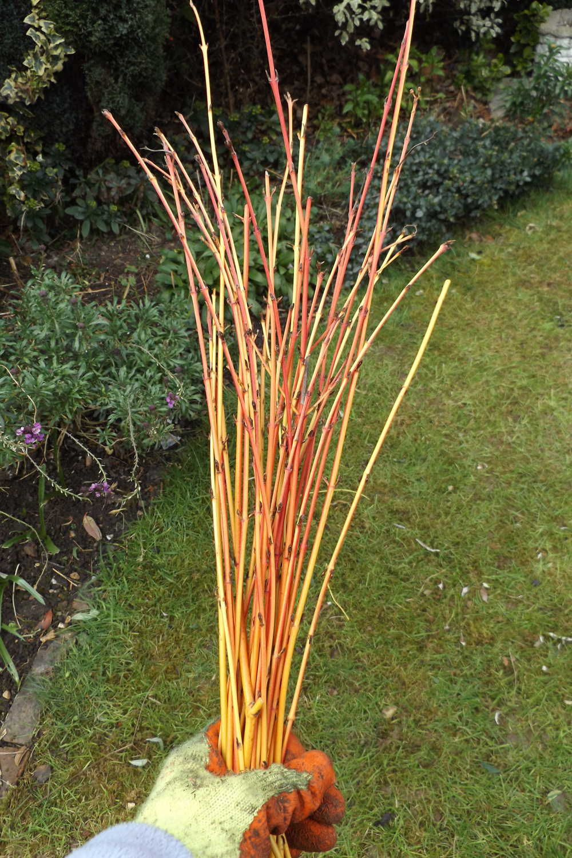 Cornus midwinter fire sticks