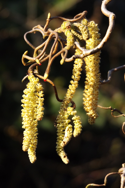 Coryllus avellana