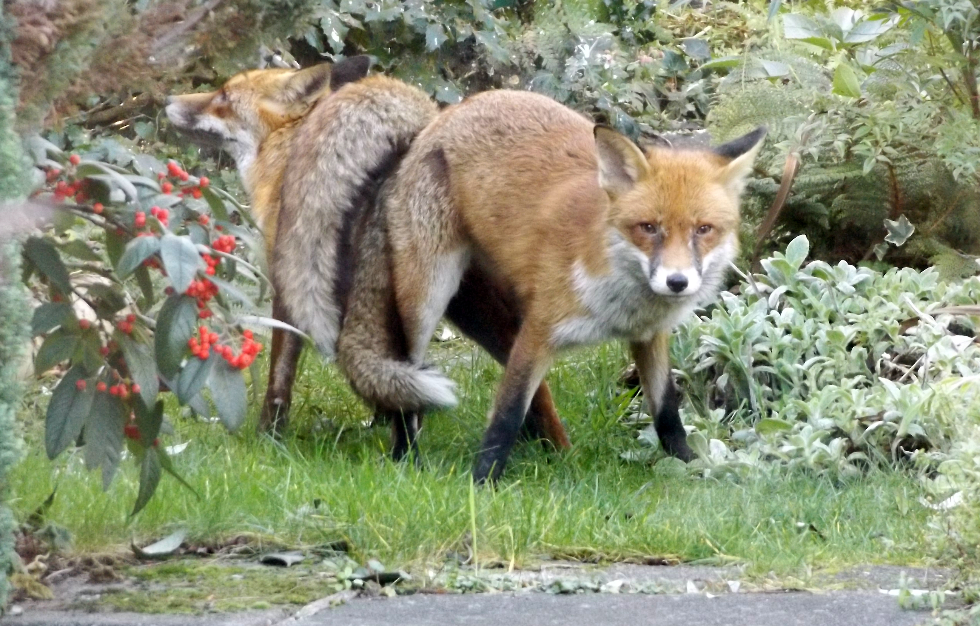 Foxes mating jan 2016 012 (4)